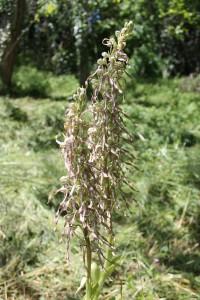 Orchis à odeur de bouc